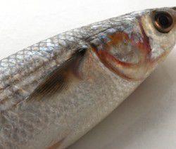 pesce cefalo